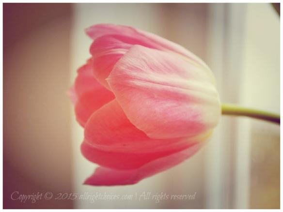 pinktulip1