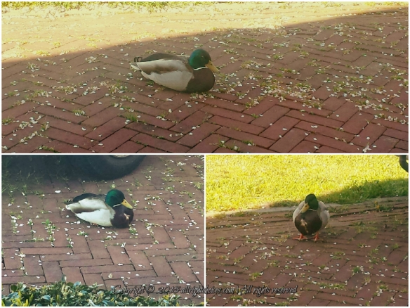 guard_ducks