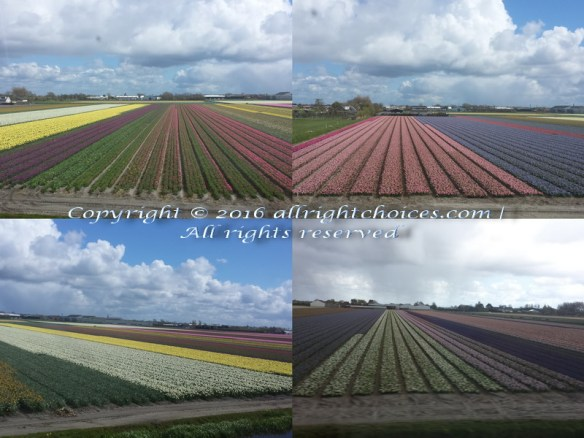 flower fields netherlands 2016